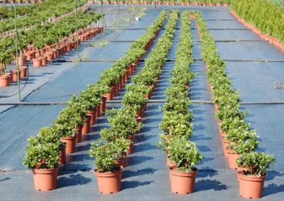 Azalea arb. C-3 lts (1)