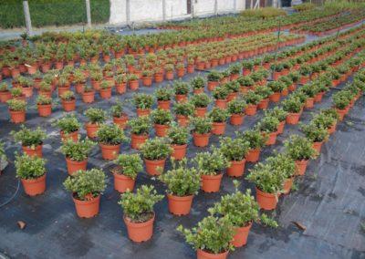 Azaleas arbustivas