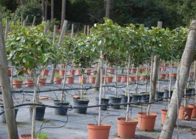 Camellia copa C-10 lts.