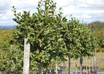 Camellia copa C-30 lts.