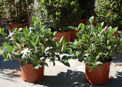 Gardenia C-5 lts. (5)