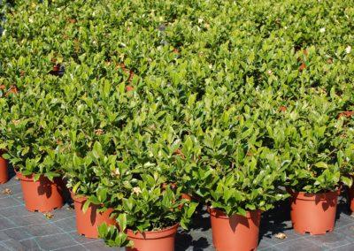Gardenia C-5 lts.tc