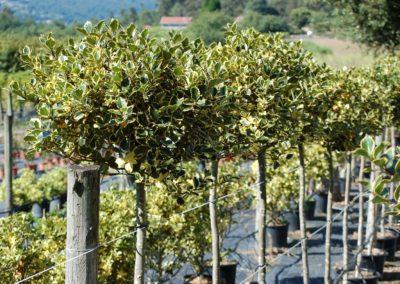 Ilex variegata copa C-20 lts.