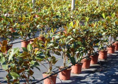 Mg. Grandiflora arb. C-5 lts