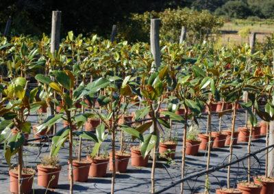 Mg. Grandiflora copa C-5 lts