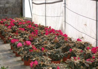 Rhodendron rosa C-5 lts.