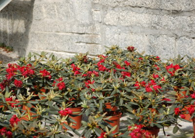Rhododendron rojo C-5 lts